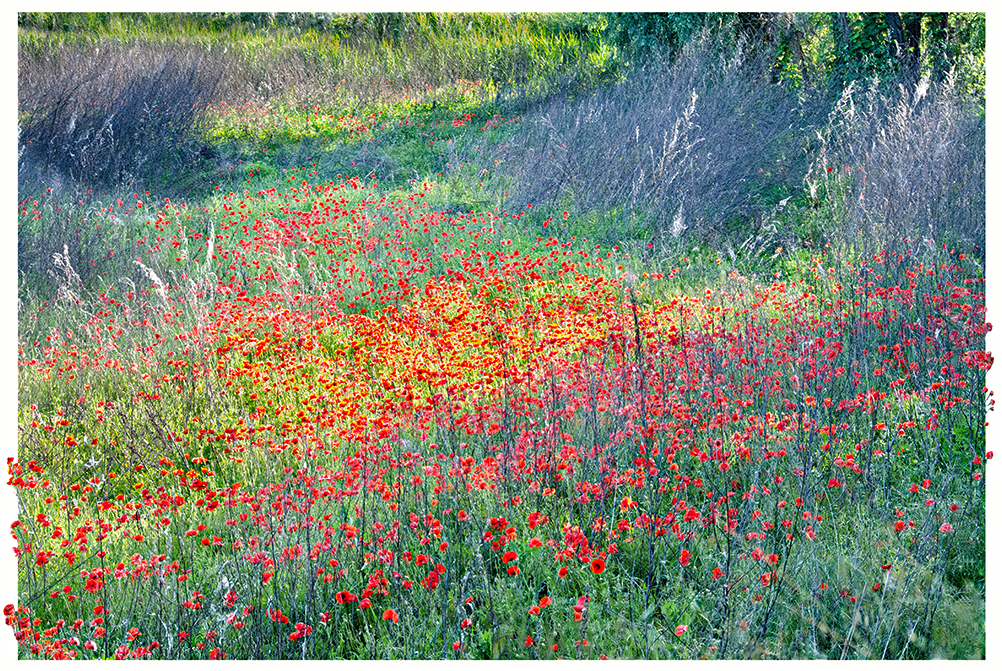 Poppies in the town of Cremona Italy