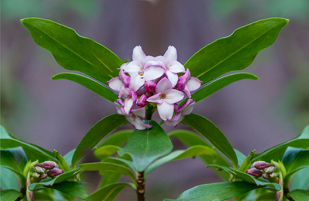 Daphne in early spring