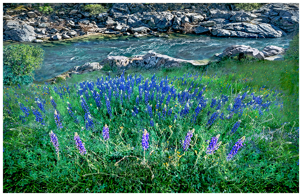 Lupines in full bloom along the Yuba River