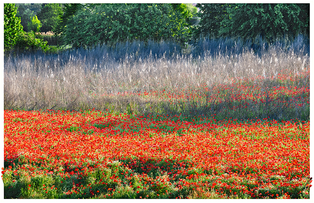 Red poppies in the town of Cremona Italy