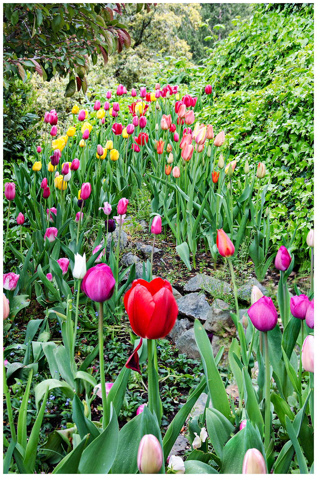Tulips from Ananda