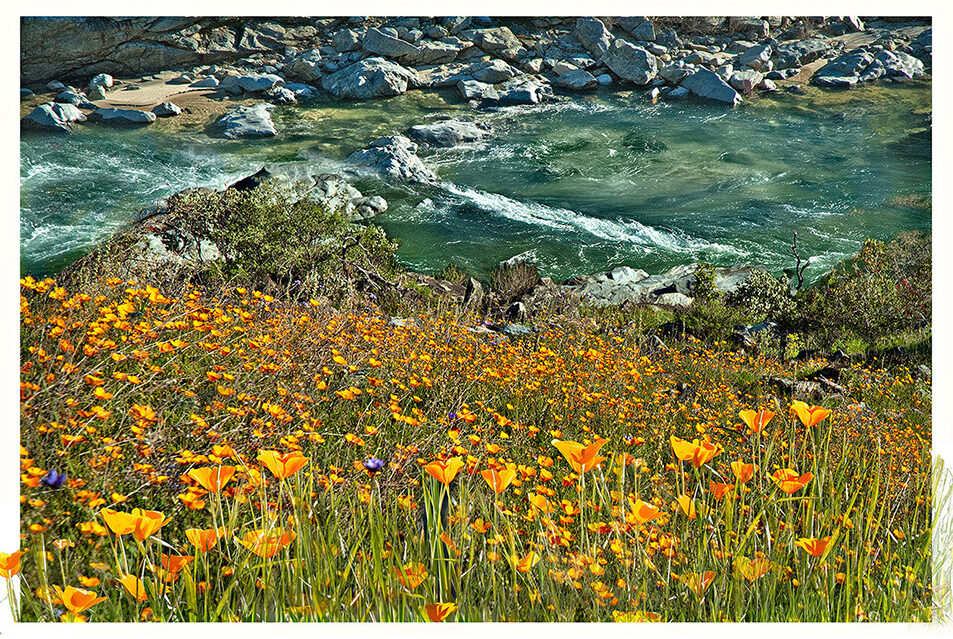 Poppies above the Yuba River