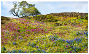 Table Mountain near, Oroville , Ca bursts with flowers every spring.  Fields of lupine are abundant.